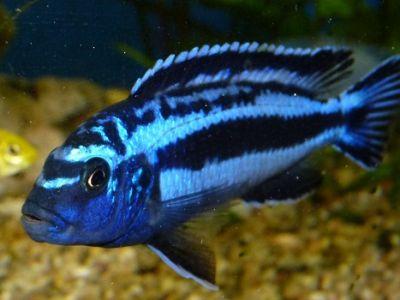 Melanochromis chipokae