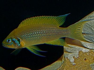 "Neolamprologus pulcher ""Daffodil"""